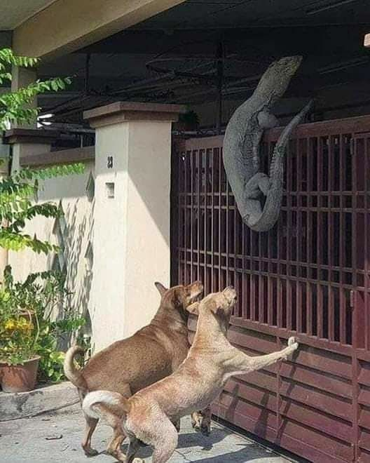 A monitor lizard on the fence, being chased by two dogs